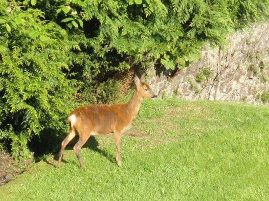 The Glenburn Hotel Ltd: Deer on hotel grounds