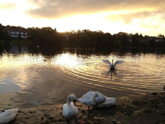 Roath Park: Swan in the lake