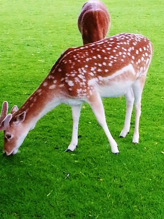 Dunham Massey Hall & Gardens: DEER GRAZING