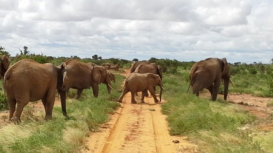 Julius Tact Safaris: elephants crossing in front of car