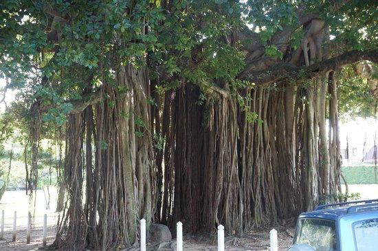 Dominica Botanic Gardens : Banyan Tree