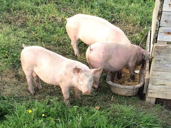 Auberge de Chassignolles: Les cochons de l'Auberge