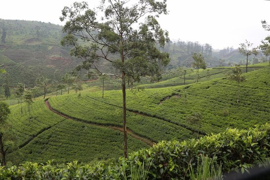 Ceylon Tea Trails - Relais & Chateaux: The tea plantations