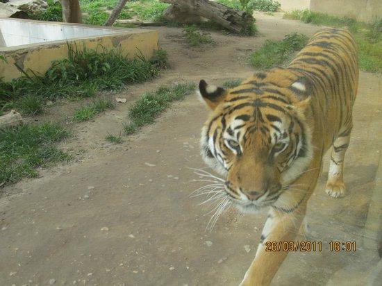 Terra Natura : Tigres