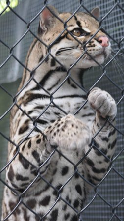 Panther Ridge Conservation Center: Toltec is an Ocelot, an endangered species because some kill them for their pelts.
