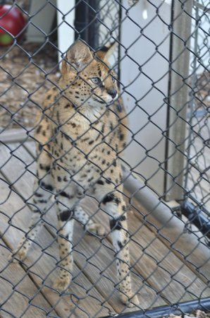 Panther Ridge Conservation Center: Duma is an African serval - the cats once revered by the Egyptians!