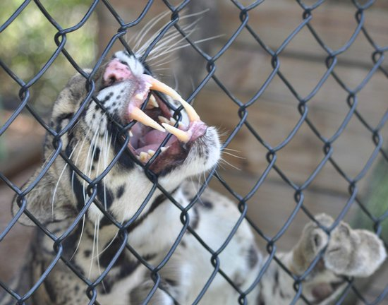 Panther Ridge Conservation Center: Ming responds to visitors quite vocally by his chuff, and his leopard cry. He was born in July 2