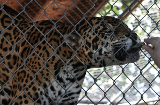 Panther Ridge Conservation Center: Aztec is a Jaguar and came to Panther Ridge in 2004 from a circus environment.
