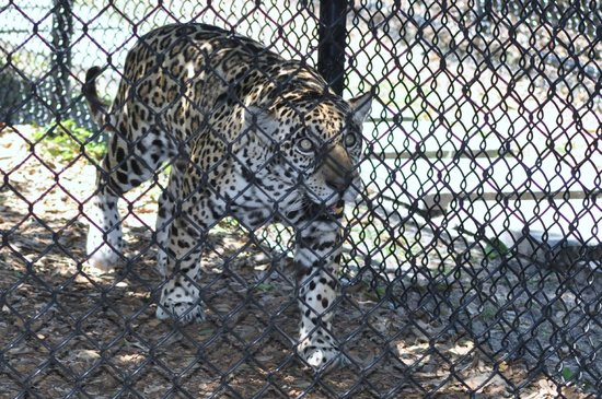 Panther Ridge Conservation Center: Isabella is the offspring of two other jaguar residents of Panther Ridge, Aztec & Tia.