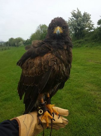 Dublin Falconry: Cookie during our hawk walk