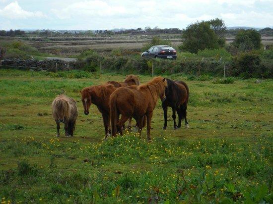 O'Brien Coach Tours: bog ponies