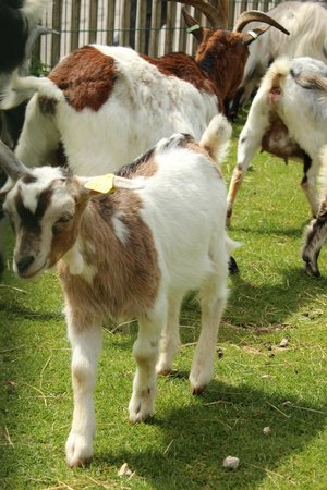 Center Parcs - Domaine des Trois Forets: Goats at the petting zoo