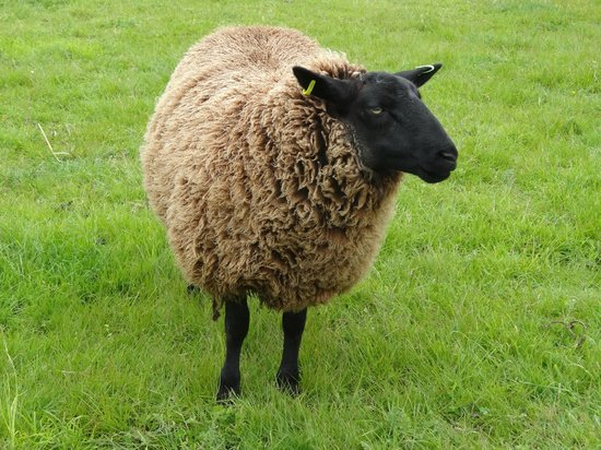 Betton Farm : one of the sheep