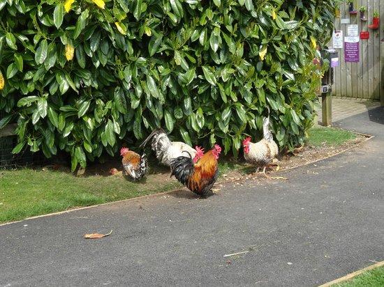Betton Farm: very colourful chickens