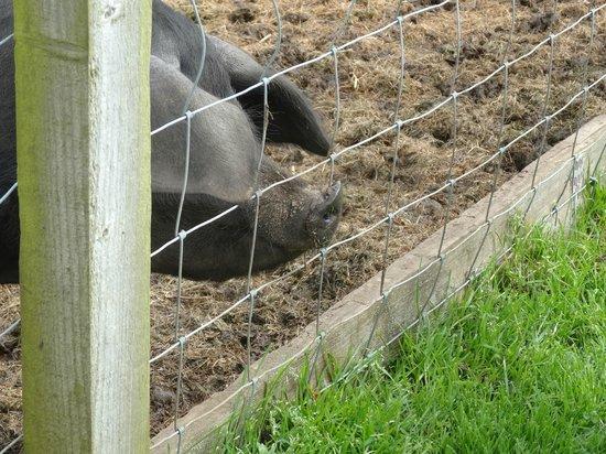 Betton Farm: cute pigs