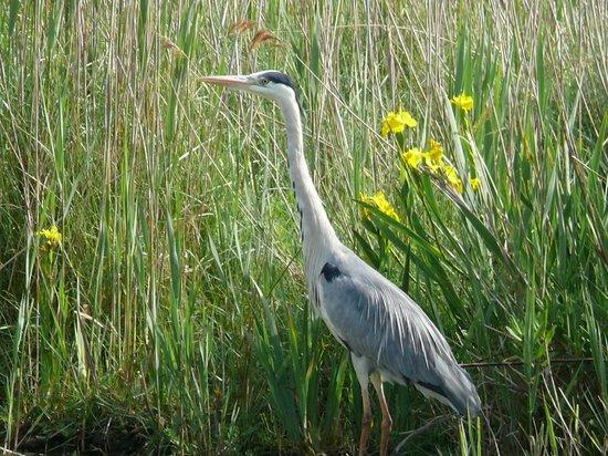 Le Parc Ornithologique de Pont de Gau : l'airone cenerino