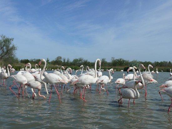 Le Parc Ornithologique de Pont de Gau : i fenicotteri rosa