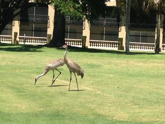 Mission Inn Resort & Club : Cranes on the grounds