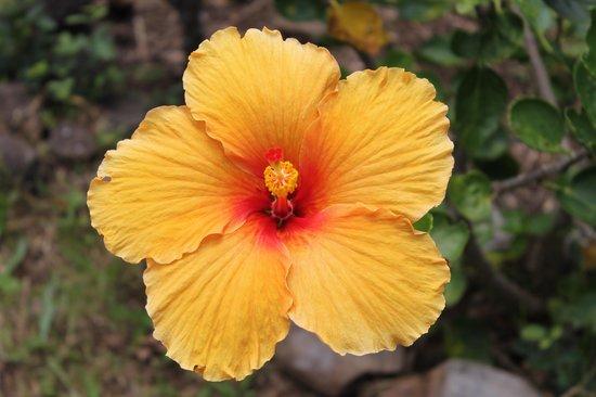 Limahuli Garden and Preserve: Hibicus