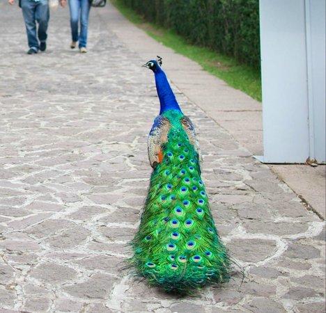 Museo Dolores Olmedo Patino: Um pavão despreocupado