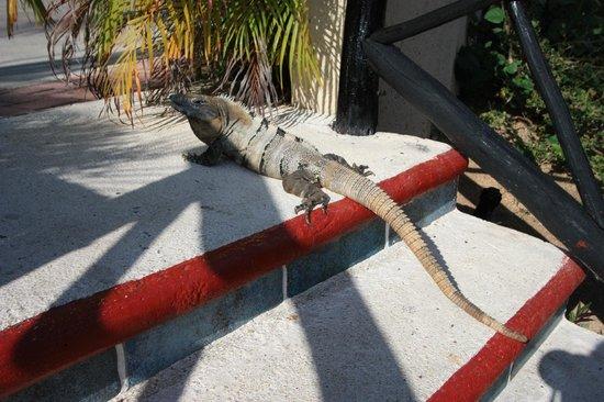 Catalonia Riviera Maya : iguana