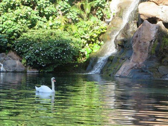 Hyatt Regency Maui Resort and Spa: Swan Court Pond