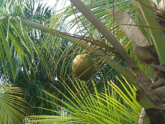 Meliá Caribe Tropical: coconut right outside room balcony