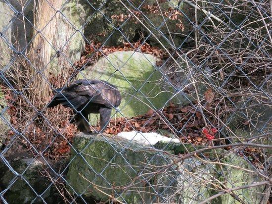 Alpenzoo: Попали на трапезу орла