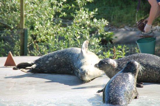 Parc Zoologique de Fort Mardyck: phoques veau marin