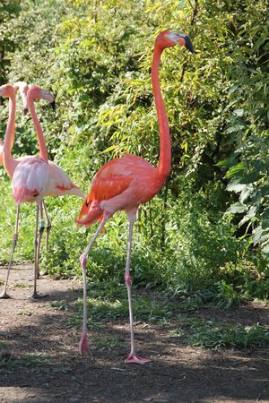 Parc Zoologique de Fort Mardyck: flamant rose