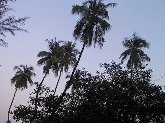 Awas Beach: coconut trees dancing
