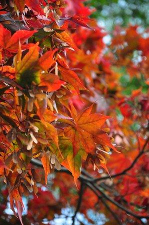 Lakeside Promenade Fleuri: Red Maple leaves