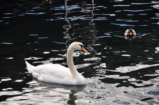 Lakeside Promenade Fleuri: Swan