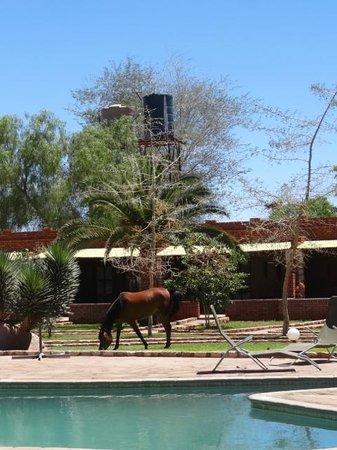 Kalahari Anib Lodge: The friendly horses enjoying the grass in the pool area.