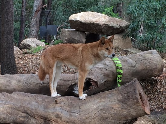 Healesville Sanctuary: Gorgeous Dingo