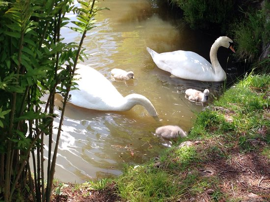 Sheffield Park and Garden: Nesting swans