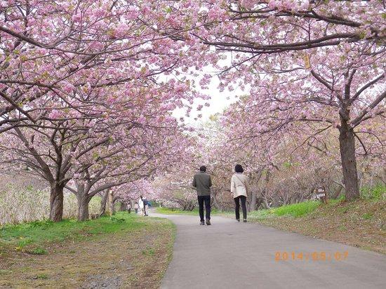 Matsumae Park: 桜見本園近く