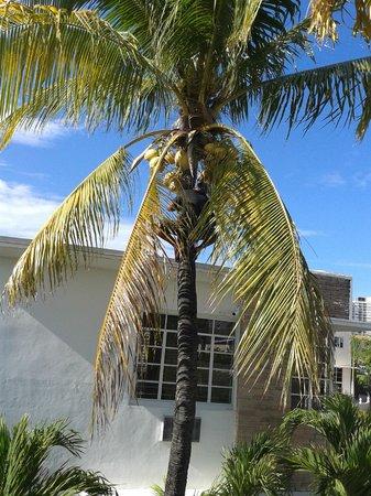 Tradewinds Apartment Hotel: Kokosnotenboom vlak naast de voordeur.