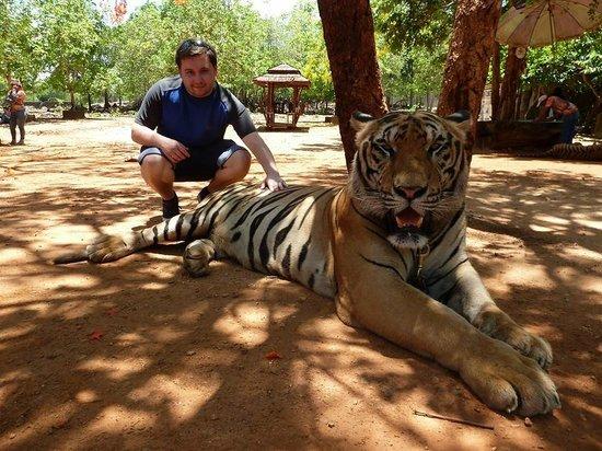Tiger Temple Thailand Tour : Big tigers!