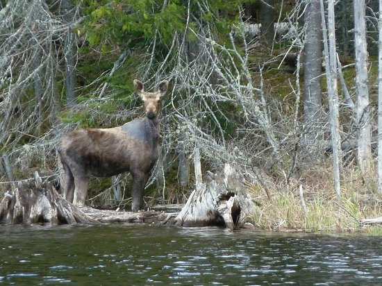 Algonquin Eco-Lodge: Moose close to the lake