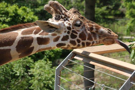 The Maryland Zoo : Giraffe feeding