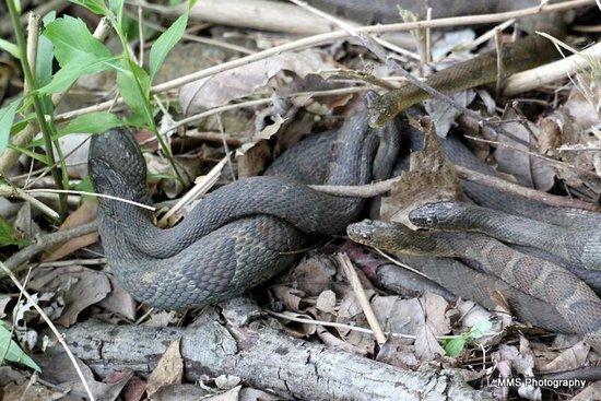 Radnor Lake State Park : Snakes