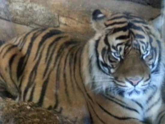 Dudley Zoo and Castle : Visiting the tigers...
