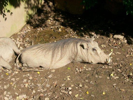 Louisville Zoo: Warthog