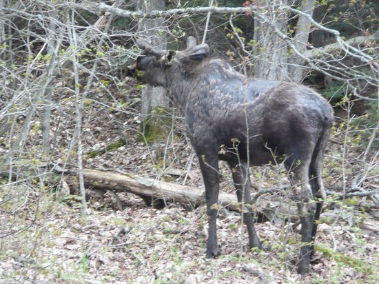 Benaaron Guest House: Moose in Algonquin National Park