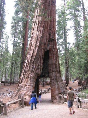 Mariposa Grove of Giant Sequoias: Tunnel Tree
