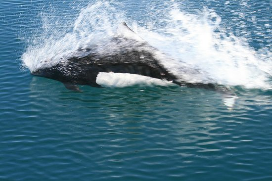 Alaska Saltwater Lodge Small Group Whale Watching, Wildlife & Glacier Tour : A Dall Porpoise skimming beside our boat