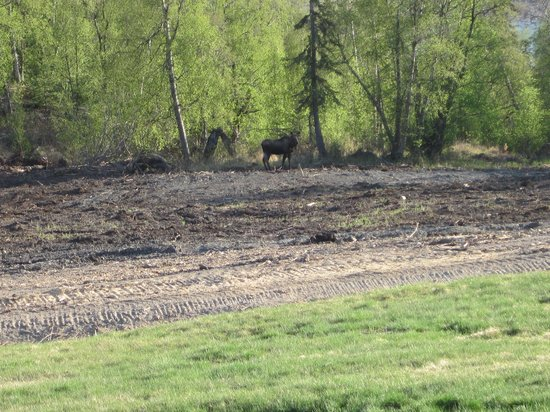 Knik River Lodge: Moose on the grounds