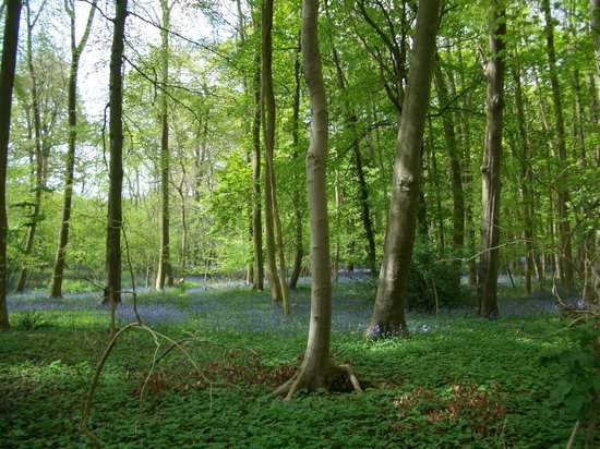 SHO4 Travel Oxford Tours: Bluebells in bloom