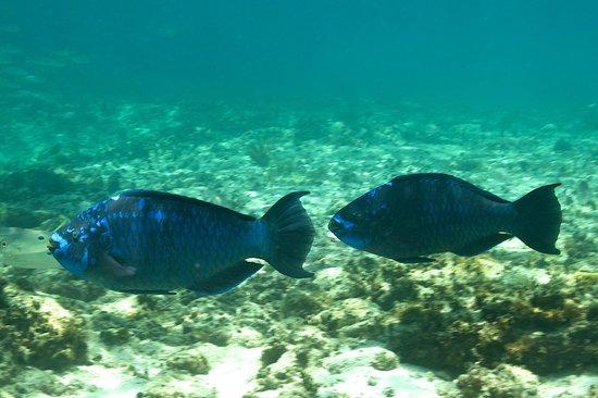 WildQuest: Midnight Blue Parrotfish